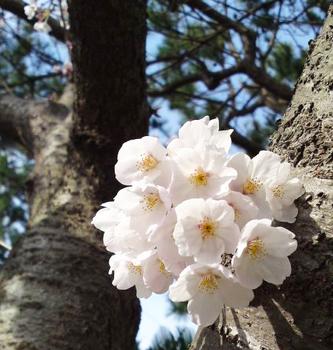 100331_sakura_a.jpg