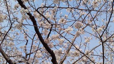 130324_hanateru_sakura_a.jpg
