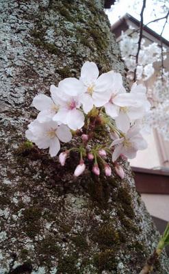 130324_hanateru_sakura_b.jpg