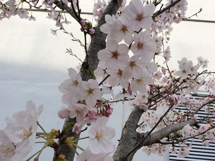160331_hanateru_sakura.jpg