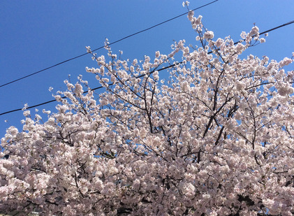 170413_hanateru_sakura.jpg
