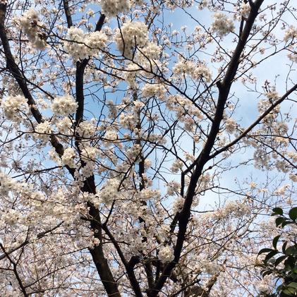 180327_hanateru_sakura.jpg