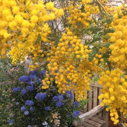 180401_hanateru_mimoza.jpg